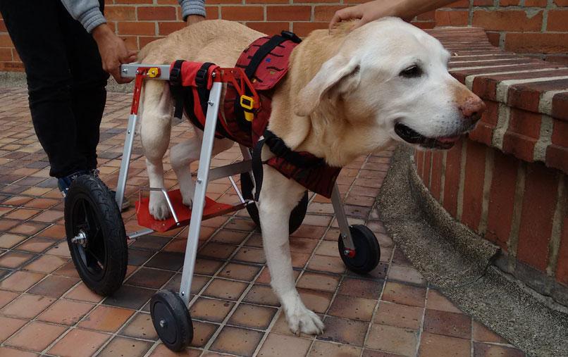 Perros sobre ruedas sillas de ruedas para perros for Sillas para perros